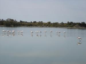 Pink_flamingos2