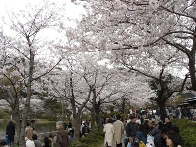 Sankeien_sakura4